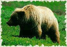 Guide to the Bears of Yellowstone Park