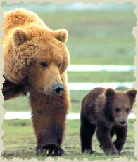 Don't let the grizzlies' 'glass' go empty – Delisting the Grizzly Bear